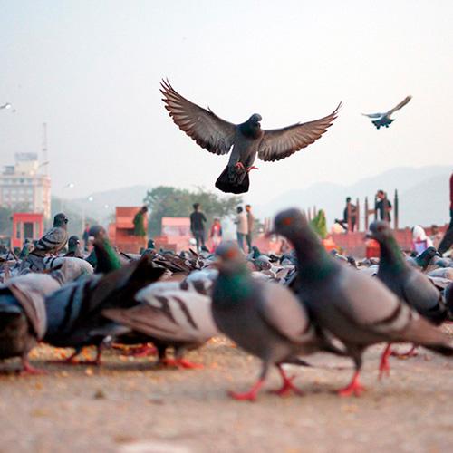control de palomas